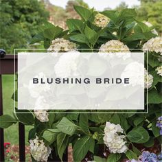 Blushing Bride has big round balls of soft blooms and an elegant touch of color all the way into fall. A favorite of European gardeners, view how Blushing Bride can serve as a focal point or can separate louder, harsher colors providing harmony and ease. Blushing Bride Hydrangea, Blush Pink, Porch, Bloom, Place Card Holders, Pure Products, Garden, Light Rose, Balcony