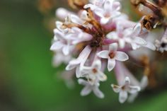Fading lilac cluster