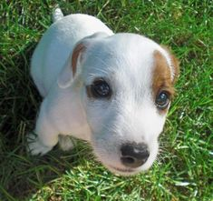Milo the Jack Russell Terrier