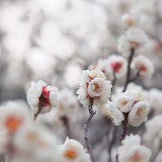 梅 plum by hiroshi37