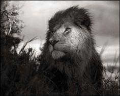 Lion in Shaft of Light by Nick Brandt