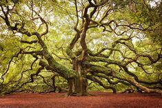 Este carvalho está localizado na Ilha de John, na Carolina do Sul – EUA, e tem 20 metros de altura. Estima-se que ele tenha de 1400 a 1500 anos.