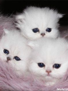 Um gato tem honestidade emocional absoluta: os seres humanos, por uma razão ou outra, pode esconder os seus sentimentos, mas o gato não.