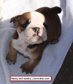 Bulldog puppy ~ cheeseball