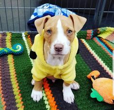 2017-12-20 Graham (one of Momma Grace's puppies) is an adoptable Dog - Pit Bull Terrier Mix searching for a forever family near Rocklin, CA. Use Petfinder to find adoptable pets in your area.