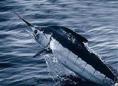 Atlantic #Blue Marlin