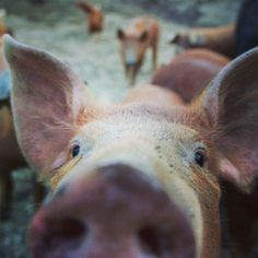 coromandel-farm-piglet