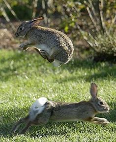Leap bun! Rabbits playing Leap frog! or maybe hopscotch.