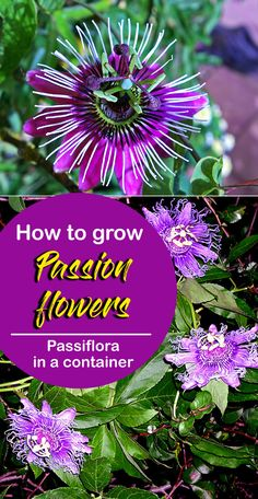 Growing Passion flowers, How to grow Passion flower in a container, Passiflora propagation, care. It is a tropical vine the natives of South America. Container Flowers, Container Plants, Container Gardening, Growing Flowers, Planting Flowers, Garden Plants, House Plants, Outside Plants, Homestead Gardens