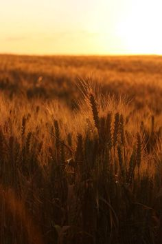 Wheat fields at sunset in Pullman Washington in the summer of '08. Canon 20D.