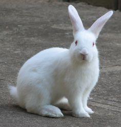 View 3634 white rabbit Pictures, white rabbit Images, white rabbit Photos on Photobucket. Baby Bunnies, Cute Bunny, Easter Bunny, Florida White Rabbit, Rabbit Facts, Baby Animals, Cute Animals, Rabbit Pictures, Cute Rabbit Images