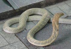 :::::SUJITH SPOT:::::: Unbelievable Facts about King Cobra(World's longest venomous snake)