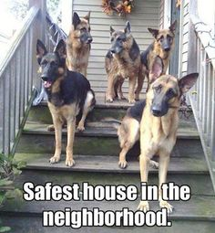 Need to have a good reason to visit? #dogs #pets #GermanShepherds Facebook.com/sodoggonefunny