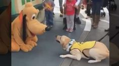 Service Puppy Meets Pluto at Disneyland and Can't Believe It: A video shows Ace, a Labrador-Golden Retriever mix training to become a service dog, nuzzled the giant character at Disneyland
