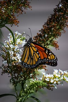 Wildlife Photo of the Day - September Monarch butterfly perched on a butterfly bush. Peacock Butterfly, Butterfly Bush, Butterfly Photos, Butterfly Wallpaper, Monarch Butterfly, Pismo Beach, Nature Animals, Beautiful Butterflies, Wildlife Photography