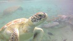 Westpunt, zwemmen met schildpadden in curacao Turtle, Animals, Turtles, Animales, Animaux, Tortoise, Animal, Animais