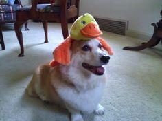 Duck, duck, Corgi?