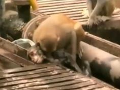A monkey has seemingly saved the life of a fellow primate after it was hurt on railway lines in India.