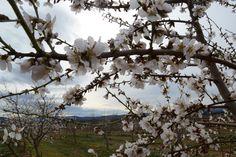 Detalle de almendro en flor a finales de enero