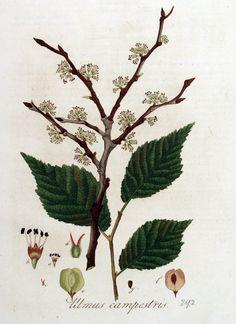 Elm: Ulmus campestris.  Ulmus_campestris_—_Flora_Batava_—_Volume_v4.jpg (1662×2286)