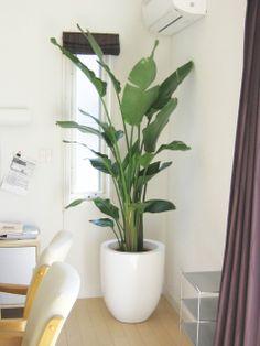オーガスタ - 観葉植物 foliage plant