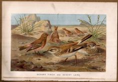 DESERT FINCH AND DESERT LARK : GREAT c1893 Bird Chromolithograph