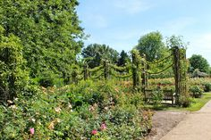 BLOG-Queen Mary's Gardens (Regent's Park, London)-the first steps in to the rose garden