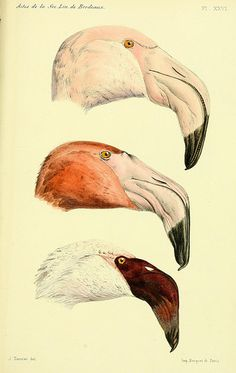 Vintage French Zoology Reproduction Print - Illustrated Flamingos by Alphonse Tremeau de Rochebrune - Educational Chart Poster Birds Animal Art, Animal Drawings, Science Illustration, Scientific Illustration, Vintage Birds, Animal Illustration, Bird Illustration, Bird Prints, Vintage Illustration