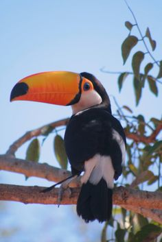Imagem Wild Animals Videos, Animals And Pets, Cute Animals, Tropical Birds, Colorful Birds, Beautiful Birds, Animals Beautiful, Pelican Art, Toco Toucan