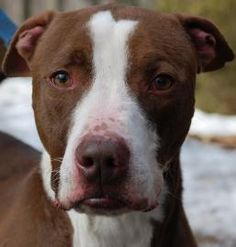5 / 23    ***SENIOR*** Petango.com – Meet Justice, a 11 years 9 months Terrier, Pit Bull / Mix available for adoption in BLOOMFIELD, CT Address  188 Rescue Lane, BLOOMFIELD, CT, 06002  Phone  (860) 519-1516  Website  http://www.thesimonfoundation. org  Email  Stephanie.Ferguson@thesimonfou ndation.org