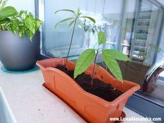 Como Plantar Caroço de Abacate? • Actualização IV - http://gostinhos.com/como-plantar-caroco-de-abacate-%e2%80%a2-actualizacao-iv/