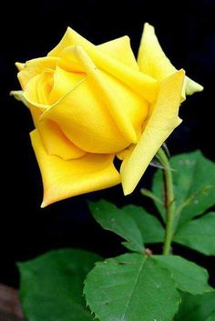 yellow roses are very dear to me; we sent Daddy off with a bunch of yellow roses. I still remember and I still <3 you, Daddy! <3