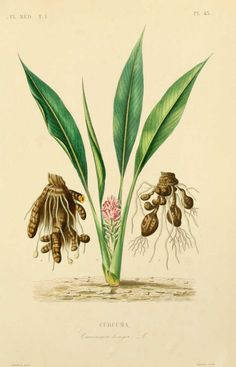 img/dessins plantes medicinales/curcurma - curcuma longa.jpg