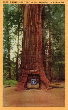 The giant redwoods in California