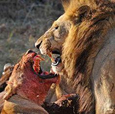 predator:lion  prey:cheetah