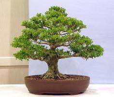 Growing a Boxwood Bonsai to Perfection Bonsai Tree Care, Indoor Bonsai Tree, Bonsai Plants, Bonsai Garden, Boxwood Bonsai, Boxwood Tree, Home Hydroponics, Backyard Aquaponics, Indoor Garden