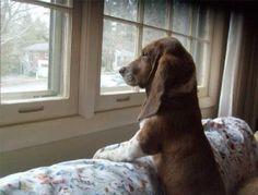 Bassett hound watching.