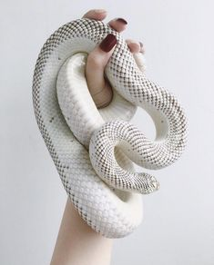 Jane on – Animals Time Les Reptiles, Cute Reptiles, Reptiles And Amphibians, Pretty Snakes, Beautiful Snakes, Animals And Pets, Cute Animals, Ball Python Morphs, Cute Snake