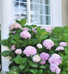 Tips for growing healthy hydrangeas. I love hydran
