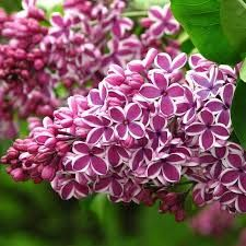 Syringa vulgaris Sensation - Fragrant Picotee Lilac Individual flowers are single and coloured a rich, wine purple-red with a distinct white picotee edge for an overall silvery appearance. Lilac Tree, Purple Lilac, Begonia, Syringa Vulgaris, Lilac Tattoo, French Lilac, Comment Planter, Flowering Shrubs, Spring Blooms
