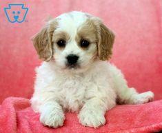 Carebear | Cavachon Puppy For Sale | Keystone Puppies Cavachon Puppies, Puppy Eyes, Design Development, Puppies For Sale, Dogs, Animals, Animales, Animaux, Pet Dogs