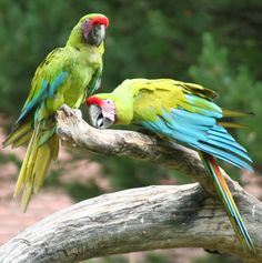 Bird of the Week, May 13, 2011 - Great Green Macaw