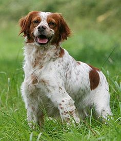 French Brittany. Get a Free Consultation for your #dog from our Friends at Nature's Select #Petfood http://naturalpetfooddelivery.com/nsd/usa/free-consultation/