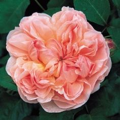 'Evelyn' is a David Austin English Rose.  This is one of my favorites of the David Austin English Roses that we have in our garden.