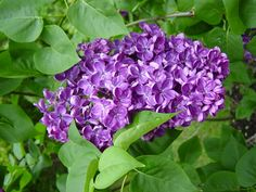 The ideal lilac shrub has about 10 canes and produces flowers at eye-level—all the better to enjoy that sweet, haunting fragrance.