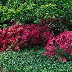 Rhododendron - Sunset garden's care page, good tips!