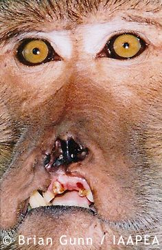 Monkey Horrible Animal Experimentation Picture Primate Abused, Beaten And Tortured In Cruel Psychological Research  Animal testing is legalised cruelty. If you were to do the same thing to your animal you would be severely punished.     © Brian Gunn /IAAPEA