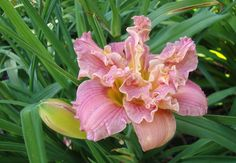 Squigglly double diploid daylily
