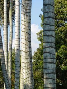 Ceroxylon quindiuense - palma de cera- Colombia Wood, Inspiration Boards, Graffiti Murals, Palmas, Day Planners, Naturaleza, Forests, Concept, Colombia