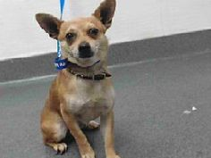 03282 17-03282 is a brown/white, male adult dog, that weighs approximately 4 lbs. He was impounded on 8/10/2016 from the City of Downey.  Availability:  Available for adoption holds on 8/10/2016. Adoption holds must be placed in person. Adoption availability date 8/16/2016.  Please visit SEAACA and ask for identification number 17-03282 to see me.